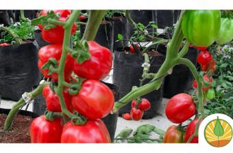 Medidas concretas para tomateros pequeños y medianos frente al arancel en EE.UU.