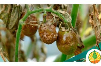 Tizón tardío en tomate: Manejo Integrado de Phytophthora infestans