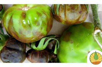 Virus Rugoso del Tomate (ToBRFV): un patógeno emergente